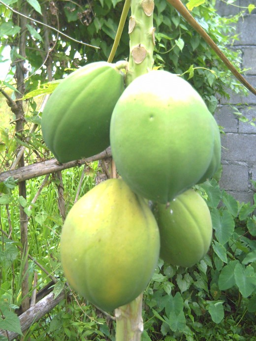 Papaya in my backyard (Photo by Travel Man)