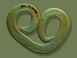 First step toward immortality: a nematode worm.