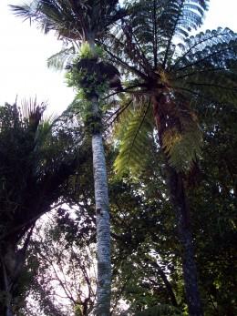 Nikau palm with Tree fern.
