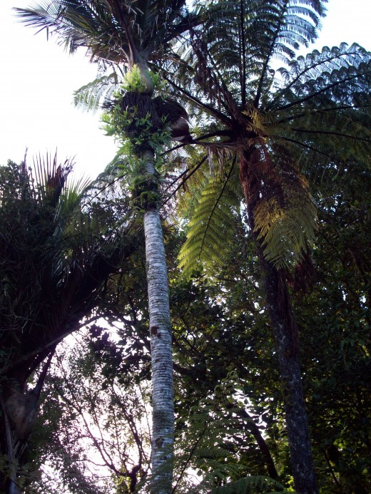 Nikau palm with Tree fern.