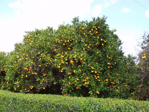 A magnificent orange tree in Southern California.