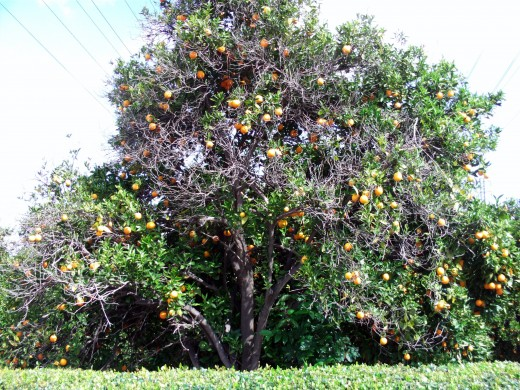 Another picture of a beautiful orange tree.