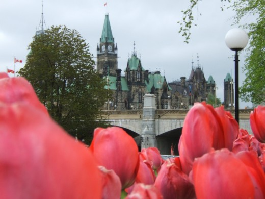 Tulips near the Parliament of Canada, Ottawa
