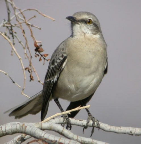 The Mockingbird is the official state bird of which state?