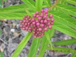 Swamp Milkweed (Asclepias incarnata) growing at an abandoned railroad trail. Attracts a variety of butterflies to your garden. It is a host plant for monarch butterfly.