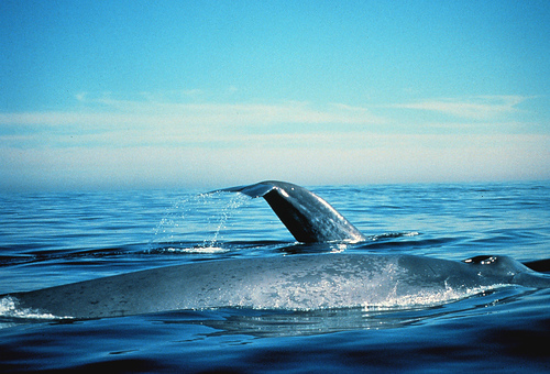 A blue whale floating on the surface of water.