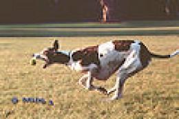 Greyhound OB