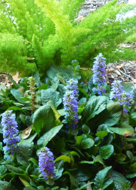 Ajuga in bloom in our home garden.