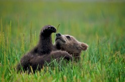Grizzly Bear Danger - Learn the Facts