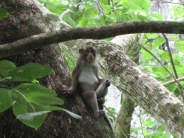 Monkey in the Philippines
