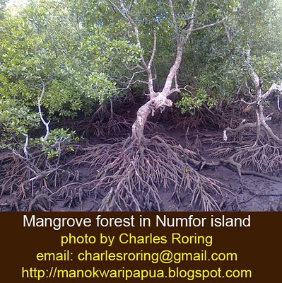 Mangrove forest in Numfor island