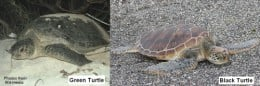 Green and Black Sea Turtles show no significant genetic differences