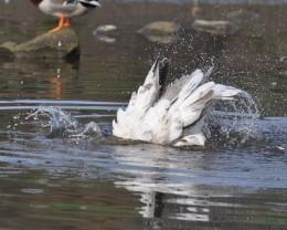 "Greylag goose, ""A quick flick..."""