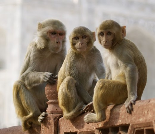 Two baby monkeys with mother at Taj Mahal.