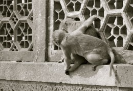 Two monkeys in close relationship at Agra Fort.