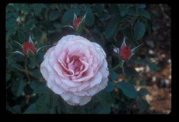 Sexy Rexy Rose!