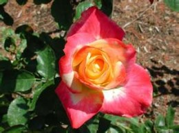 The beauty of the rose.