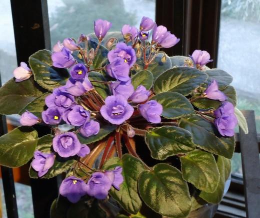 Deb's African Violets_1