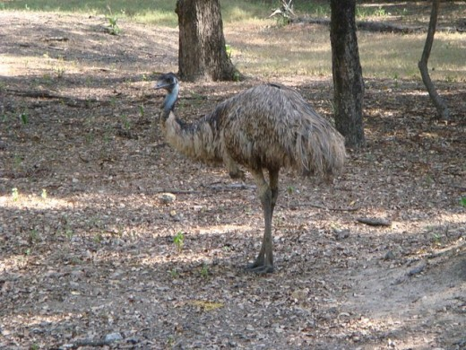 Large Emu bird  in Tamil Nadu Bird Sanctuary. Emu oil is extracted from the hump of bird Emu.