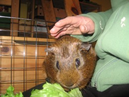 Ginger on my lap with his lettuce.