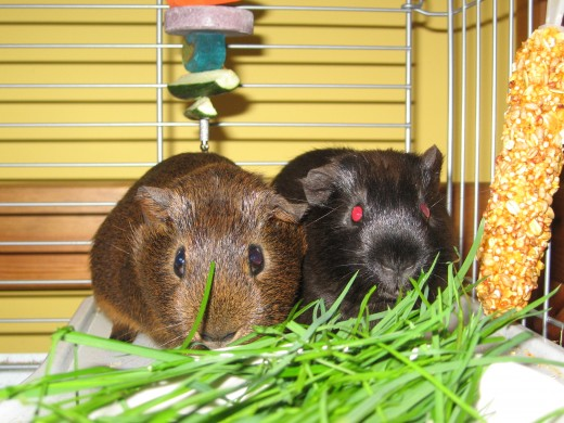 Snickers and Ginger soon after we brought them home, eating their very favourite treat of all - freshly picked grass from the garden.  By the way, Snicker's eyes, although ruby red, do not actually glow quite like this in real life!