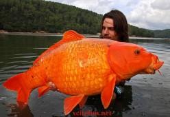Fisherman catches massive 30lb goldfish.
