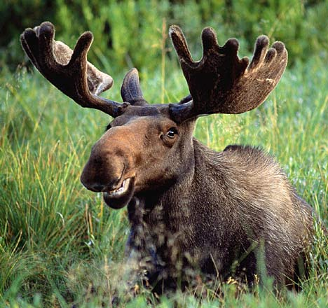 Moose - not a Choc Mousse