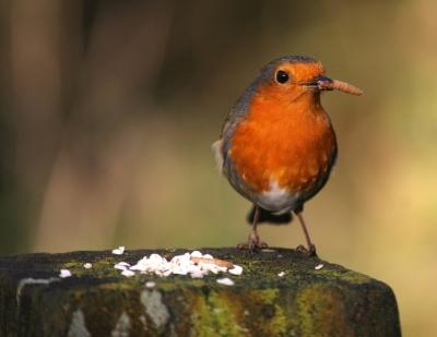 Robin, Michigan State Bird