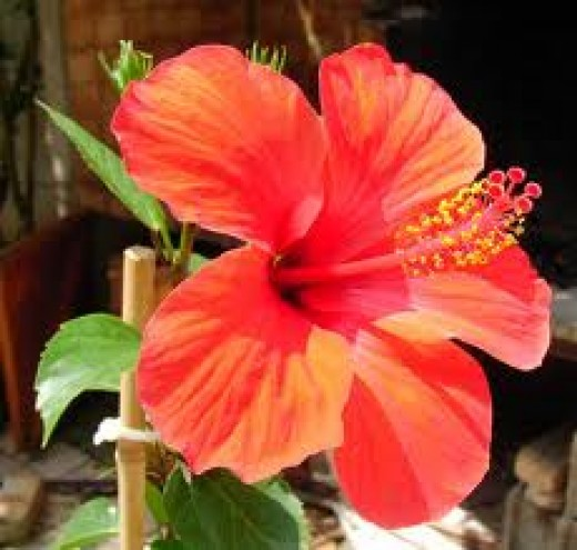 Hibiscus rosa-sinensis- San Diego. This red variety is extremely heat tolerant.