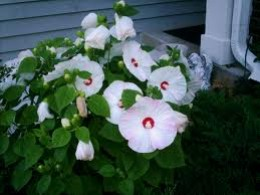 Hibiscus moscheutos.  This is a hardy hibiscus rather than a tropical variety.It will die to the ground in winter and come back in the late Spring.  This variety has the largest blooms which can reach up to a foot across. Prune in Spring.