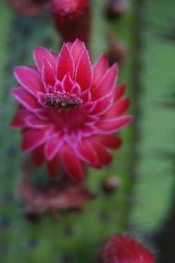 Poem: Cactus Flowers