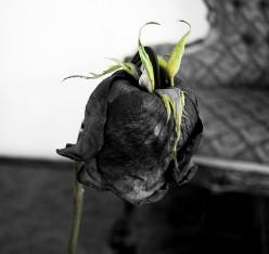 A Rose Untouched