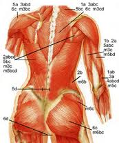 Major muscle groups for women