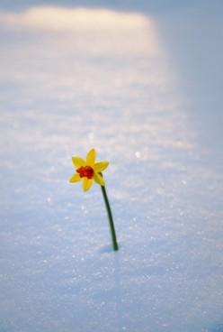 a flower in the arctic snow
