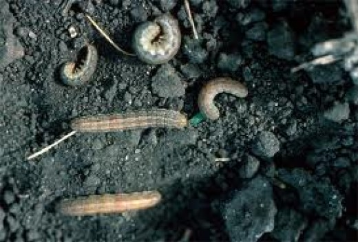 Cutworms.