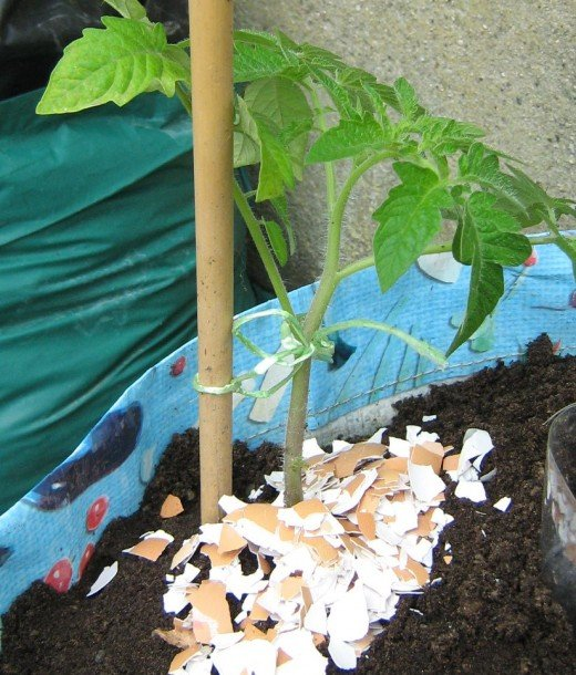 Using crushed eggs to protect the tomato plants