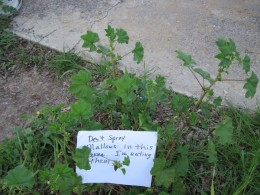 I hung this note on this mallow plant close to the house, and another  similar sign over  a nearby clump, so that John would notice it when he comes next time and I can't talk to him before he sprays. I will have to check the notes every day.