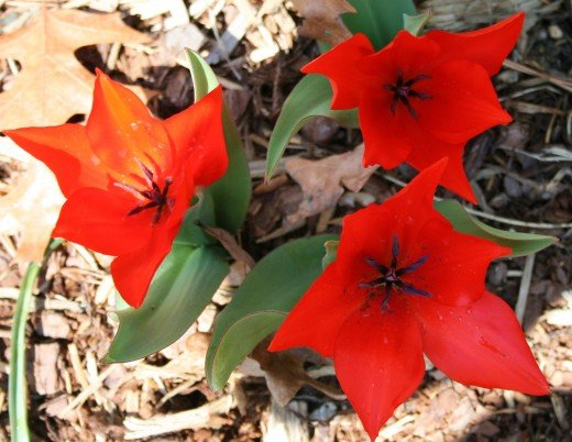 To deter deer, these tulip blooms have been sprayed with a concoction of rotten eggs.