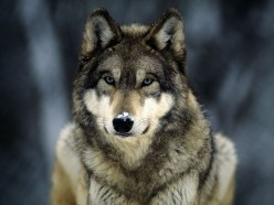 All About the Gray Wolf