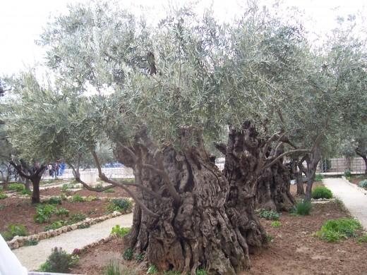 Garden of Ghetsemani