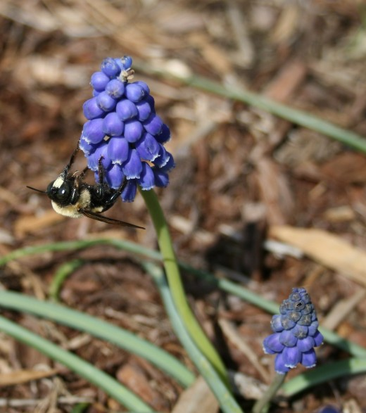 Grape hyacinths (pictured) and crocuses require little cleanup.