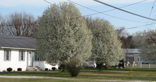 A pair of beautiful budding trees thrive in a local yard.