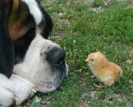 St. Bernard Being Gentle and Patient with Baby Chick.  Picture from Google Images.