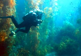 Giant Kelp Forest