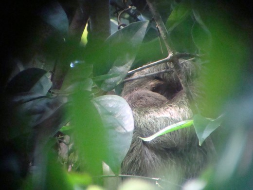 Sloth well camouflaged