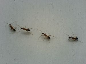 Ants marching in line
