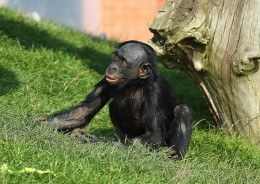A bonobo - humans closest living relative. Remind you of anyone?