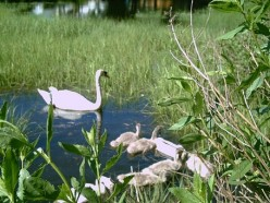 How To Take Great Photos of Swans Safely