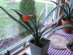Clivia Baby Plant