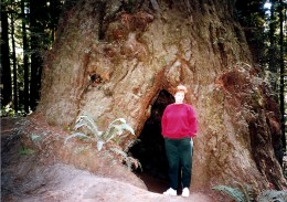 Sequoia Tree - My photo